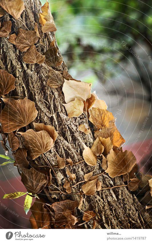 zärtliche umarmung | fürs moorschaf helgi hupe Baum Wildpflanze Baumstamm Kletterpflanzen Ranke Baumrinde Efeu braun Klettern aufwärts Natur Farbfoto