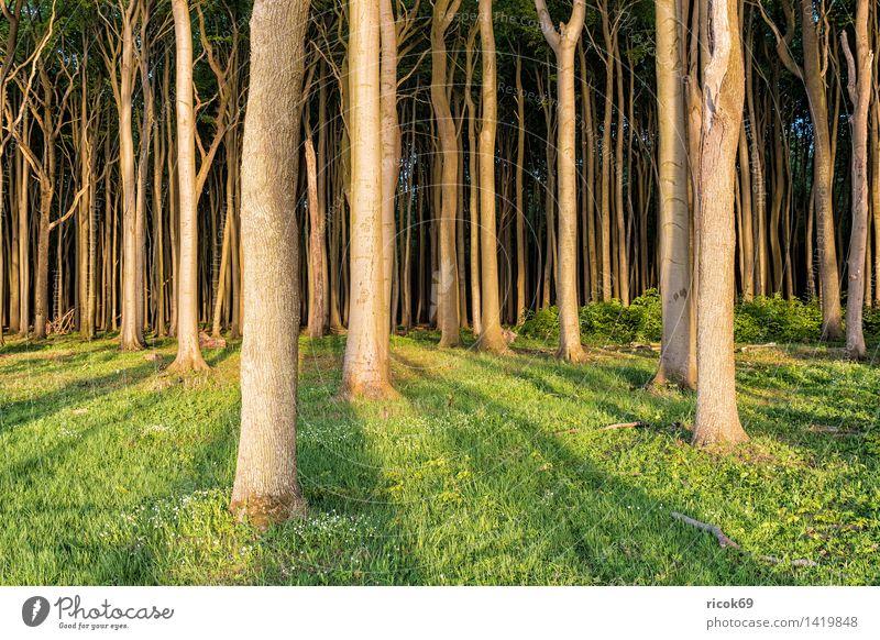 Gespensterwald in Nienhagen Erholung Ferien & Urlaub & Reisen Natur Landschaft Baum Wald grün Romantik Idylle Tourismus Küstenwald Mecklenburg-Vorpommern