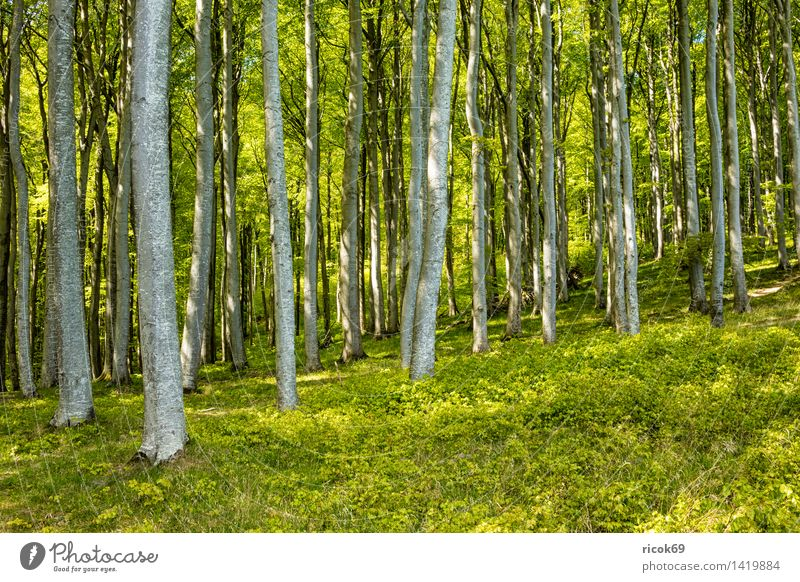 Küstenwald auf Rügen Erholung Ferien & Urlaub & Reisen Natur Landschaft Baum Wald Sehenswürdigkeit grün Romantik Idylle Tourismus Ostseeküste Klippe