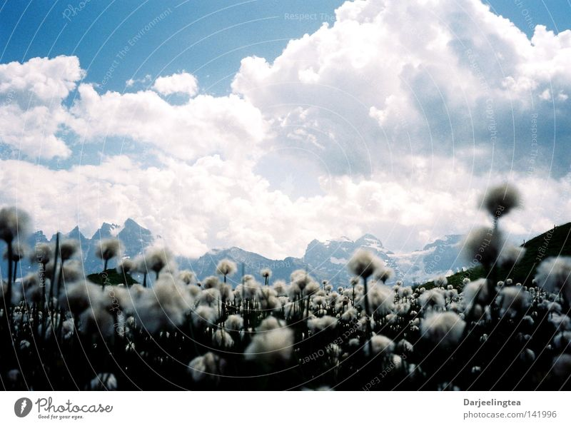 Blumenberge Wolken Wiese Blüte weiß Schweiz Berge u. Gebirge Himmel blau Alpen