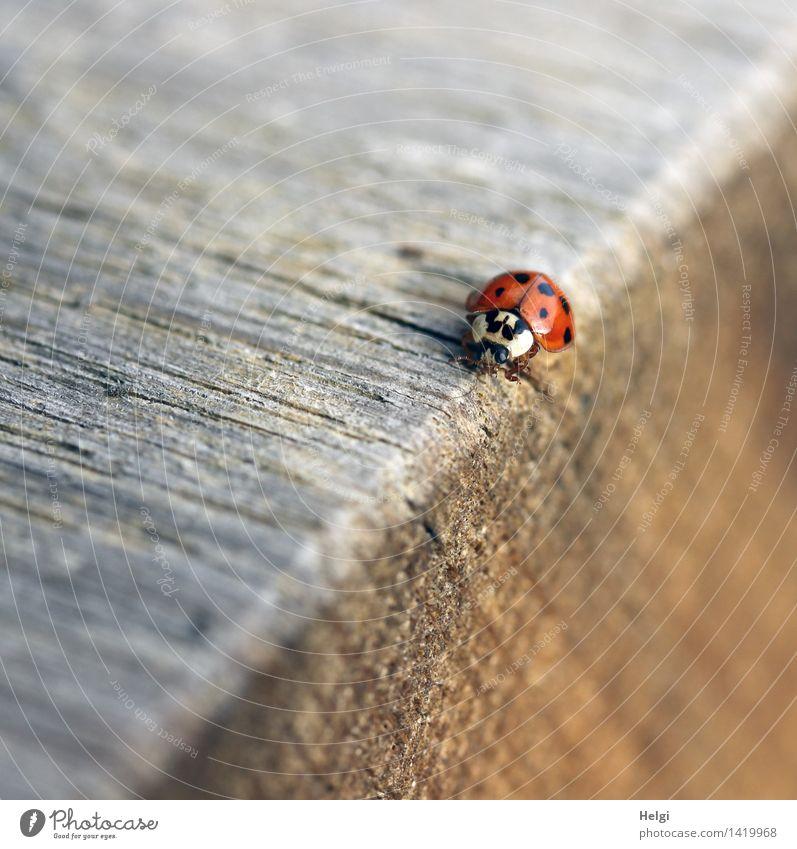 Kantenläufer | Helgiland II Natur Herbst Schönes Wetter Tier Käfer Marienkäfer 1 Tisch Tischkante Holz krabbeln einfach einzigartig klein natürlich braun grau