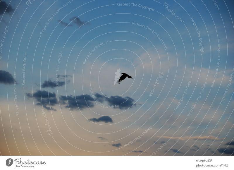 Raabe Wolken Vogel Dämmerung gleiten Krähe raabe Himmel Abend fliegen Flügel Luftverkehr