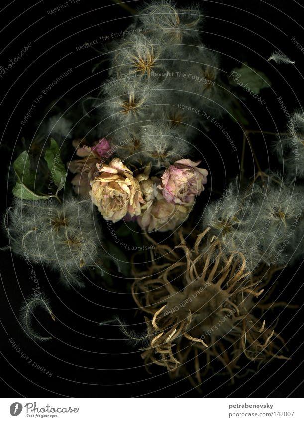 Trockenzeit Rose Pflanze Trockenblume Stillleben Haselnuss Herbst rosa Samen Vergänglichkeit