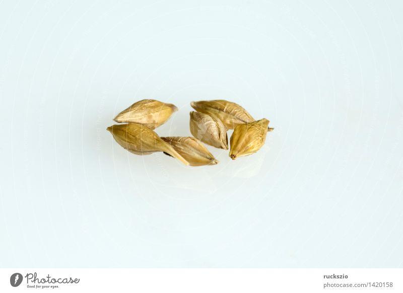 Gerstenkoerner; Hordeum; vulgare; Getreide Gesundheit Gesunde Ernährung Natur Pflanze Feld frei gold weiß Getreidekoerner Gerstenkorn Getreidesorte