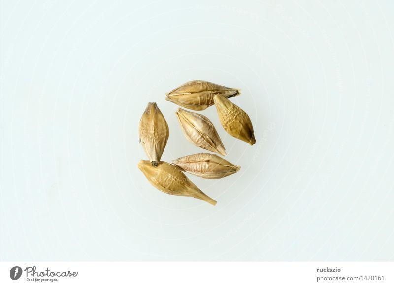 Gerstenaehren; Gerstenkoerner; Gerste; Hordeum; vulgare; Getreide Gesundheit Gesunde Ernährung Natur Feld frei gold weiß Getreidekoerner Gerstenkorn