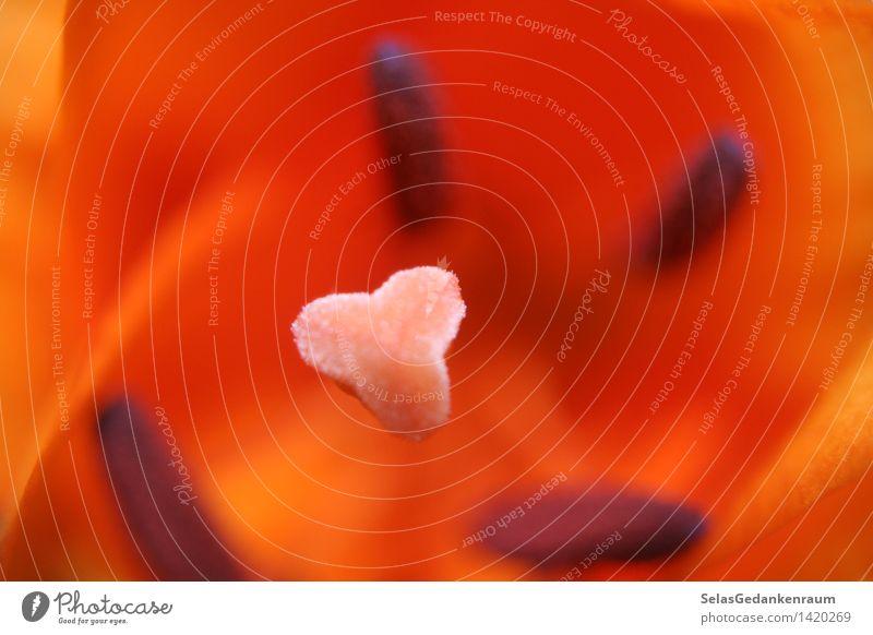 In der Mitte ruhen Natur Pflanze Blume Blüte Topfpflanze exotisch hell natürlich Wärme orange rot einzigartig elegant Zufriedenheit ruhig Farbfoto