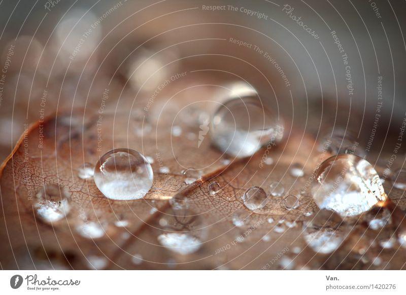 runde Sache Natur Wasser Wassertropfen Herbst Regen Blatt Tau frisch nass braun glänzend leuchten Farbfoto Gedeckte Farben Außenaufnahme Nahaufnahme