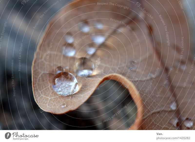 Eine Perle der Natur Pflanze Wasser Wassertropfen Herbst Regen Blatt welk Tau frisch nass braun rund Farbfoto Außenaufnahme Nahaufnahme Detailaufnahme