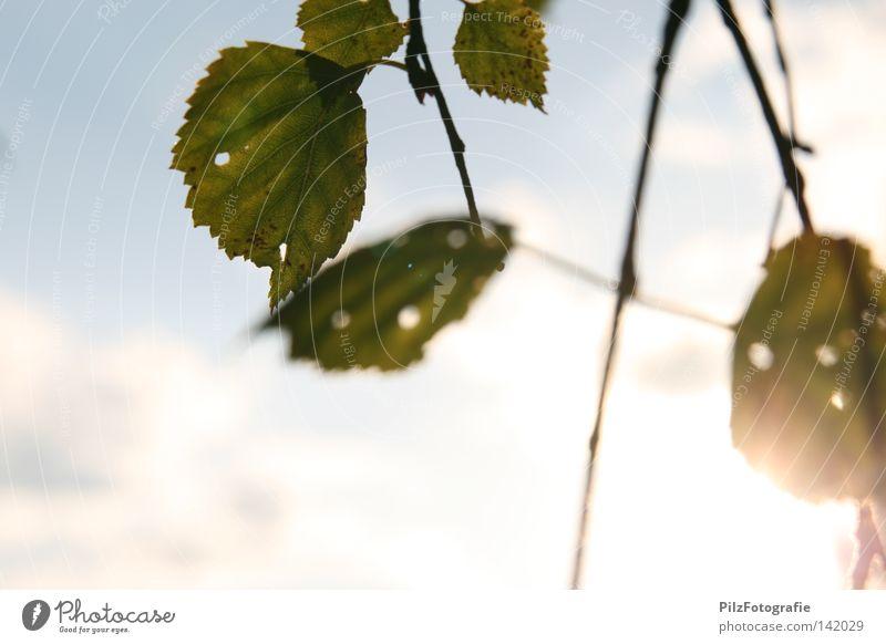 Sommer Sonne Blatt Zweige u. Äste Loch Baum grün Wachstum Wolken Himmel blau weiß Sonnenuntergang schwarz Herbst schön Wiese Ast