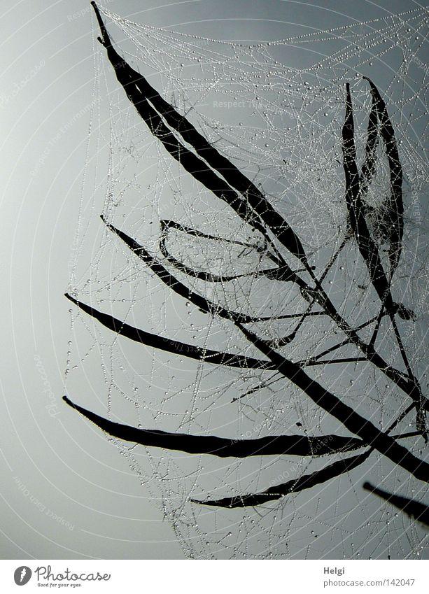 Spinnennetze mit Tautropfen im Gegenlicht umschließen Samenschoten vor grauem Hintergrund Netzwerk mehrere lang dünn Raps Wasser Wassertropfen Nebel Morgen