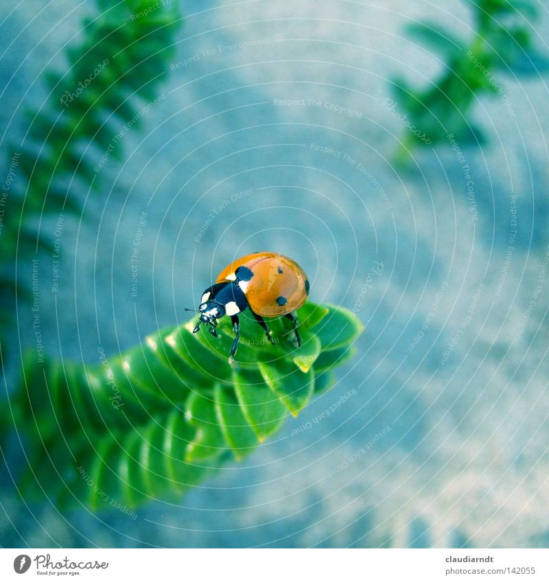 """""""Marienwürmchen"""" Marienkäfer Käfer Insekt Punkt gepunktet krabbeln Makroaufnahme Pflanze Aussicht grün oben Perspektive Vogelperspektive Glück"""