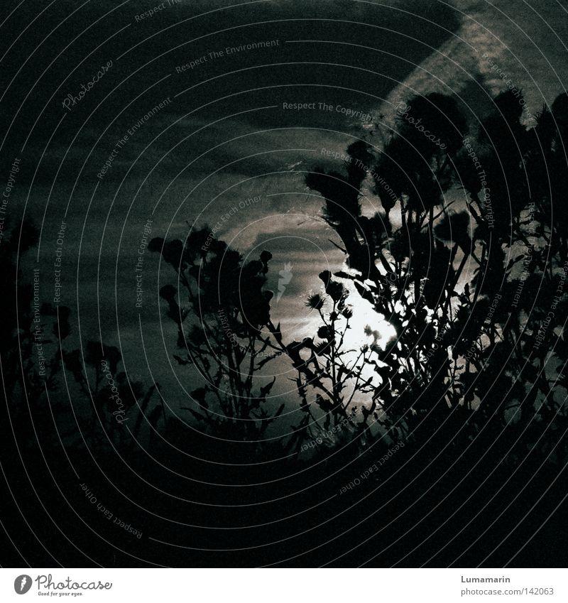 Schattendasein Wolken Streifen Feld Pflanze Blume Distel Licht Sonnenuntergang Dämmerung dunkel Nacht weich fein schön ruhig Silhouette unheimlich trocken