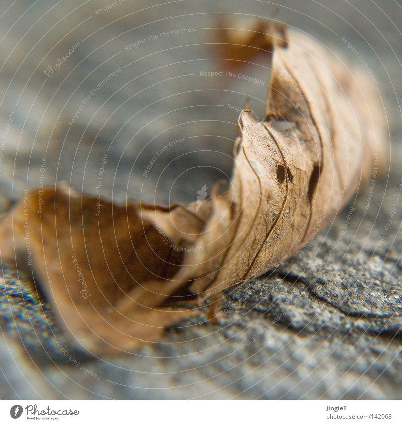 blattwerk alt Blatt Herbst Tod Ende Vergänglichkeit Gefäße unterwegs Photosynthese welk vergilbt zusammengerollt