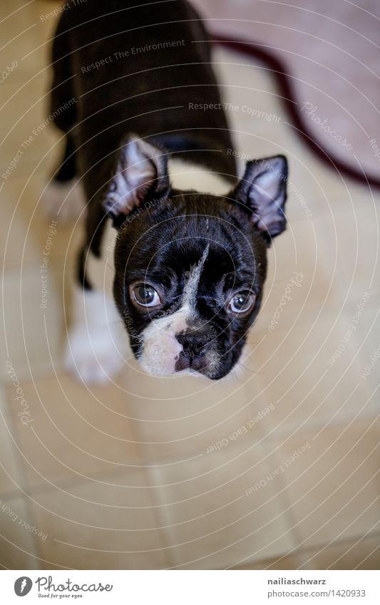 Boston Terrier Welpe Erholung Tier Haustier Hund 1 Tierjunges entdecken Blick Freundlichkeit natürlich Neugier niedlich schön schwarz weiß Sympathie Tierliebe