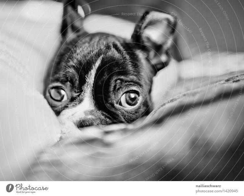 Boston Terrier Welpe Tier Haustier Hund 1 Tierjunges Erholung liegen Blick schlafen Traurigkeit Freundlichkeit Fröhlichkeit Gesundheit klein natürlich Neugier