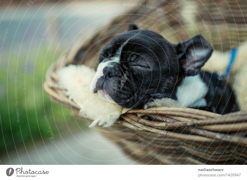 Boston Terrier Welpe Hund schön Erholung Tier Freude Tierjunges natürlich klein liegen träumen genießen Ausflug geschlossen niedlich schlafen fahren