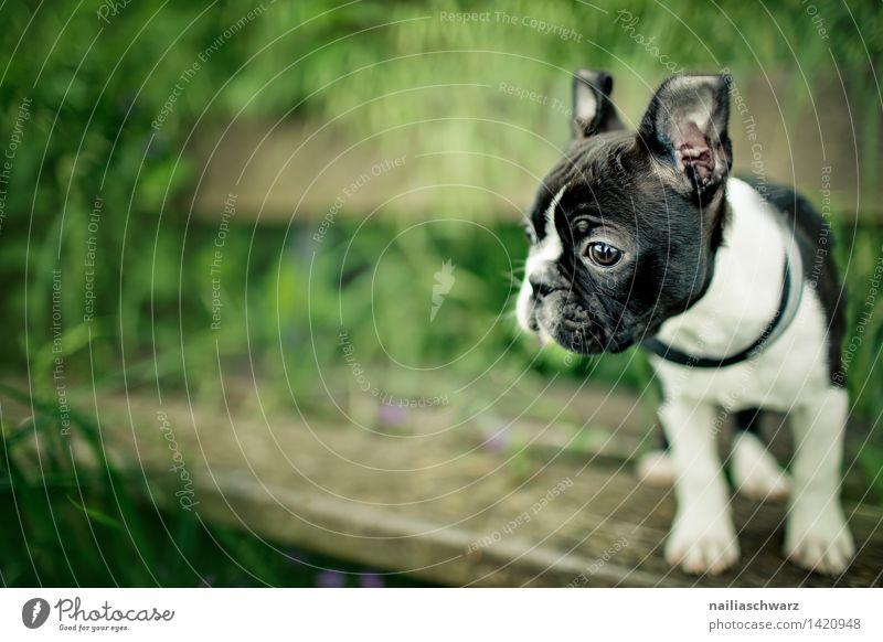 Boston Terrier Welpe grün schön weiß Blume Freude schwarz Frühling Wiese Spielen klein gehen Park Fröhlichkeit Ausflug beobachten niedlich