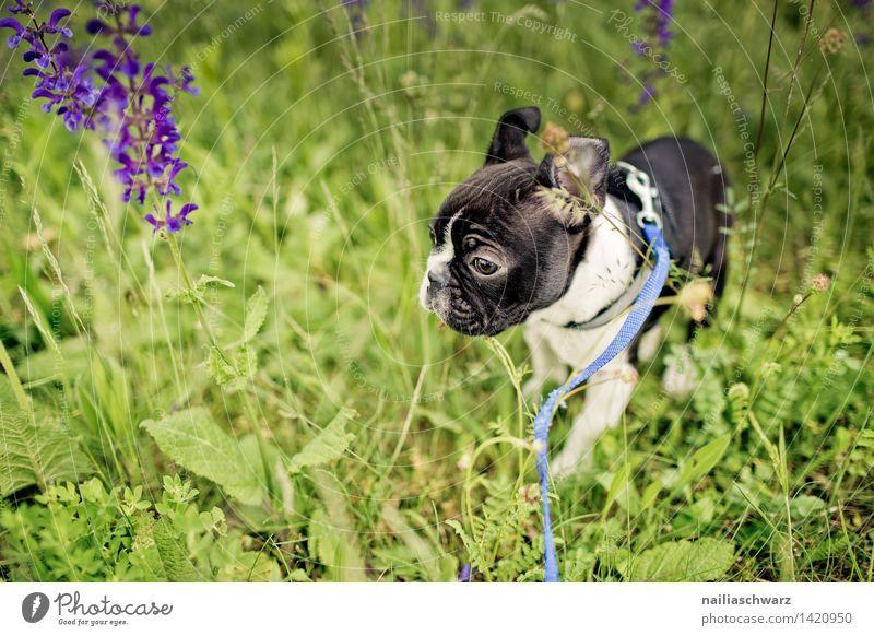Boston Terrier Welpe Freude Spielen Ausflug Natur Pflanze Tier Frühling Blume Park Wiese beobachten entdecken gehen genießen laufen rennen klein lustig Neugier