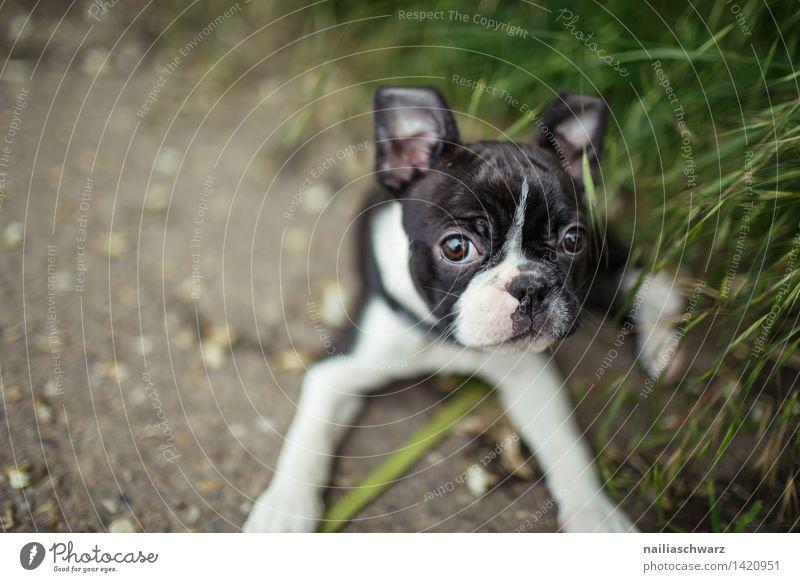 Boston Terrier Welpe Freude Spielen Ausflug Tier Frühling Blume Wiese Haustier Hund 1 beobachten entdecken gehen Blick klein Neugier niedlich grün schwarz weiß