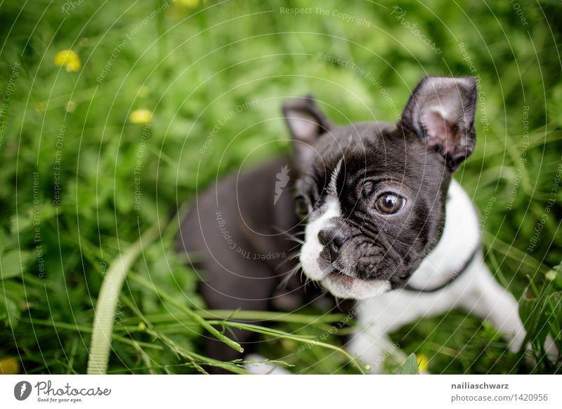 Boston Terrier Welpe Natur grün schön weiß Blume Freude schwarz Frühling Wiese natürlich Spielen klein Garten Park liegen Idylle