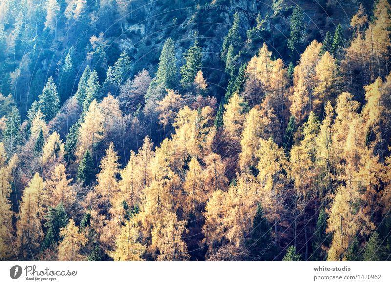 Herbstwald Umwelt Natur Landschaft Pflanze Leben hell Herbstlaub Herbstfärbung Herbstbeginn Herbstlandschaft Wald Nadelwald Mischwald Gold grün herbstlich
