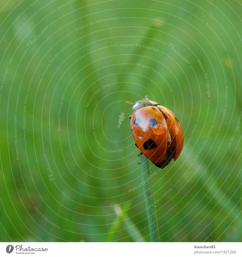 Marienkäfer schaut sich um Gras 1 Tier fliegen krabbeln grün rot Regen Flügel Halm Punkt Außenaufnahme Nahaufnahme Makroaufnahme