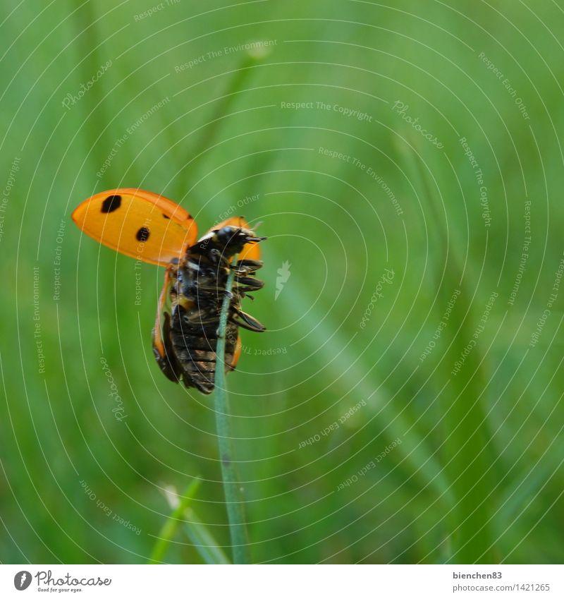 Flieg, Marienkäfer, flieg...2 Gras 1 Tier fliegen krabbeln grün rot Halm Freiheit Punkt Außenaufnahme Nahaufnahme Makroaufnahme