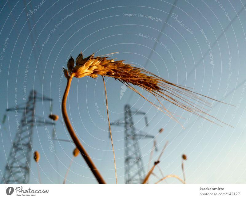 Kornkraft Weizen Getreide Kornbrand Elektrizität Energie Kraft Leitung Strommast Kabel Sonnenaufgang Ähren Landwirtschaft Nutzpflanze Ackerbau Zerealien Corny