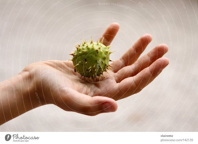 Massage-Ball Jugendliche Hand grün Herbst Spitze Ball Massage stachelig Behandlung Stachel stechen Kastanienbaum Kinderhand