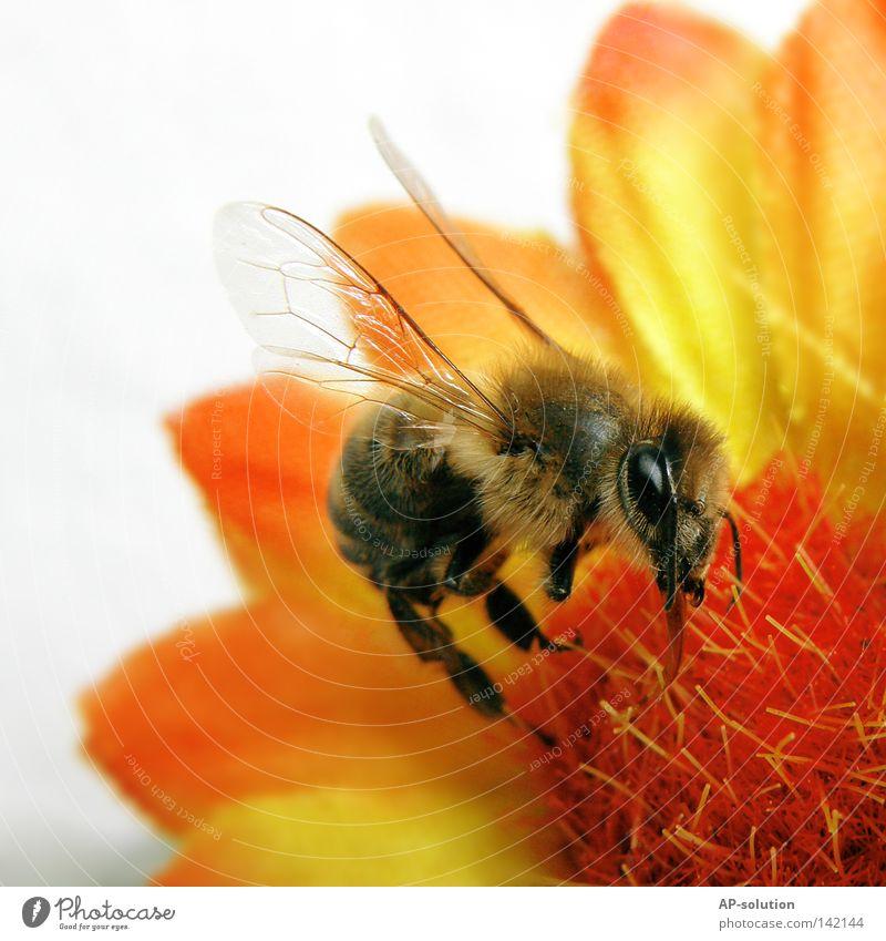 Bienchen Biene Maja Blume Pflanze Tier Staubfäden Pollen Flügel Insekt stechen Arbeit & Erwerbstätigkeit fleißig saugen Honigbiene Makroaufnahme Fluginsekt gelb