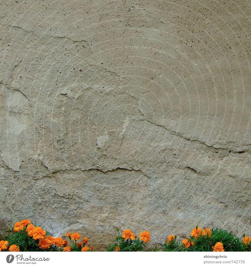 orange tristesse. Natur Blume grün Herbst Wand grau Mauer