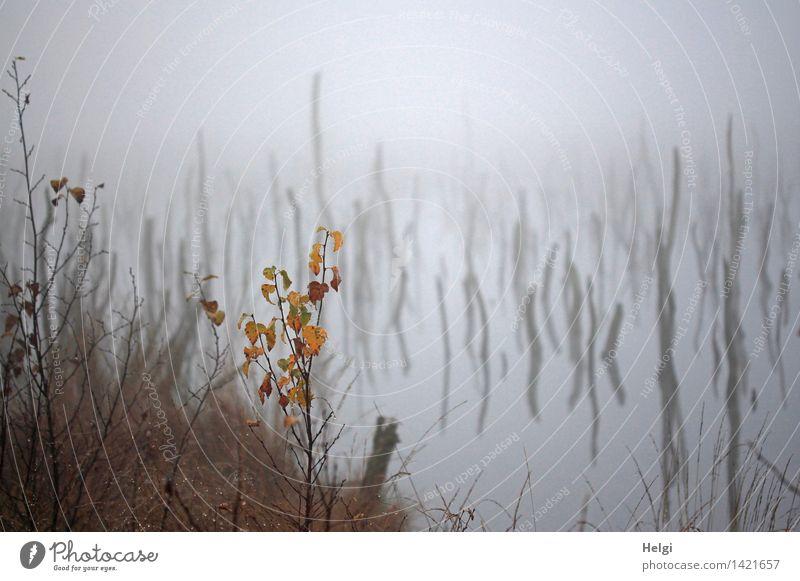 Helgiland II | geheimnisvoll... Umwelt Natur Landschaft Pflanze Wasser Herbst Nebel Gras Sträucher Blatt Wildpflanze Baumstamm Moor Sumpf alt stehen dehydrieren