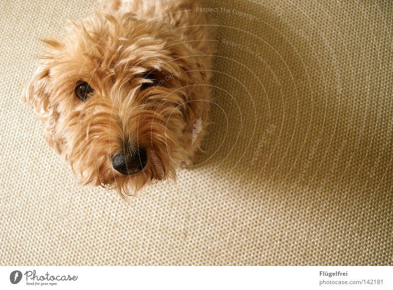 Ähm, hab ich da was von Leckerchen gehört? Hund Tier Auge klein Nase niedlich Wunsch Neugier Tiergesicht Appetit & Hunger entdecken langhaarig Säugetier Teppich