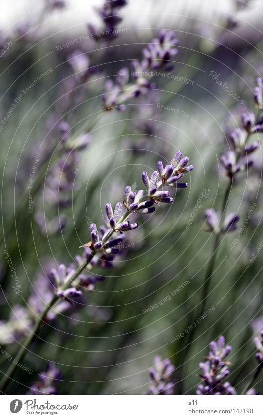 LavendelDuft Natur blau grün schön Sommer Pflanze Farbe Blume ruhig Blüte träumen Kraft Wachstum Kraft schlafen violett