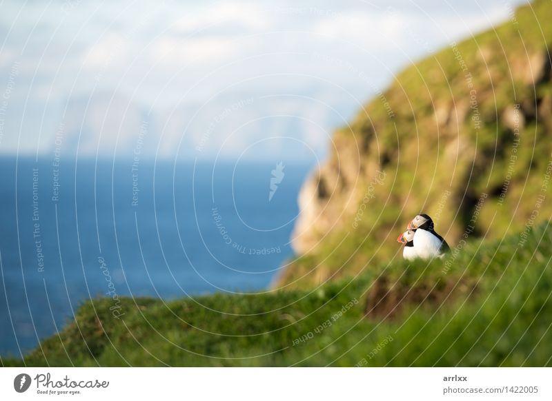 Atlantische Papageientaucher, Fratercula arctica Meer Natur Tier Gras Vogel lustig natürlich niedlich wild blau schwarz weiß Papageitaucher Feder bunt Lebewesen
