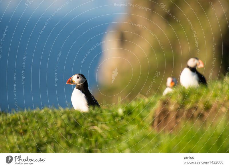 Atlantische Papageientaucher, Fratercula arctica Meer Natur Tier Gras Vogel lustig natürlich niedlich wild blau schwarz weiß Papageitaucher Feder Lebewesen