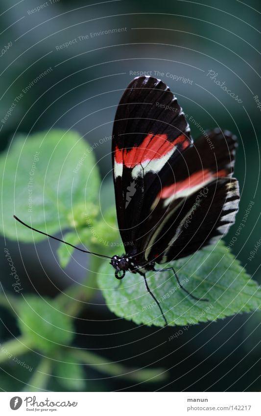 papillon Schmetterling Flugtier Facettenauge Rüssel Fühler Blume Blüte rot weiß schwarz gestreift groß klein Sommer Pflanze Tier Zweiflügler Insekt zart leicht