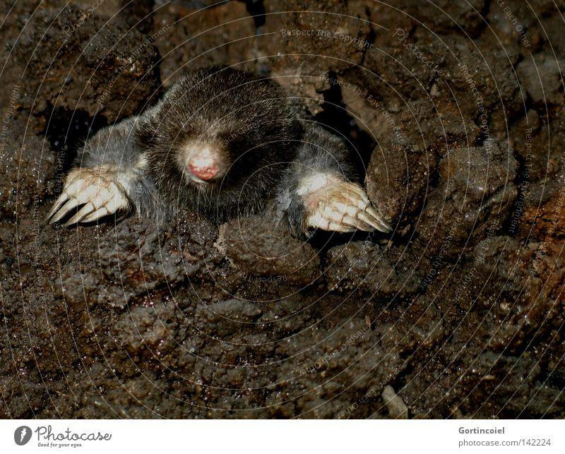 Moin Moin Natur Tier braun Erde dreckig Nase Boden Wildtier Tiergesicht Neugier Fell niedlich Loch Geruch Säugetier Pfote