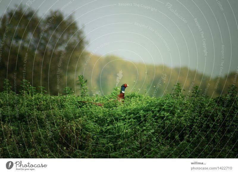 Fasan an Brennnesselsalat, unscharf Wildtier Hühnervögel Fasanenartiger grün mehrfarbig Natur Landschaft Sträucher willma... Farbfoto Außenaufnahme