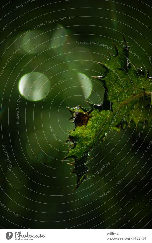 wellingholzhausener blattform Natur grün Blatt Spitze stachelig Lichtspiel welk Lichtpunkt Dorn Lichtblick dunkelgrün