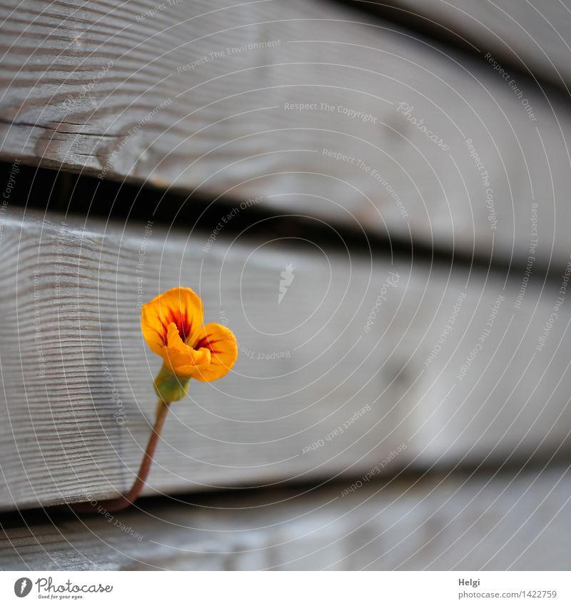 durchhalten... Natur Pflanze Herbst Schönes Wetter Blüte Kapuzinerkresse Garten Wand Holz Blühend Wachstum authentisch außergewöhnlich einfach schön einzigartig