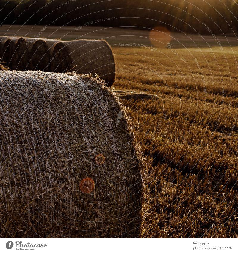 goldmedaillen Stroh Strohballen Heuballen Koloss groß Rolle Feld Wiese Sommer Ackerbau Landwirtschaft Futter Gras rund Halm Blumenwiese ökologisch gerollt