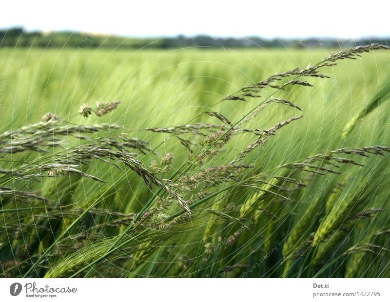Gerste grün Natur Landschaft Pflanze Himmel Horizont Wind Nutzpflanze Feld Landwirtschaft Getreide Aussaat Halm Farbfoto Außenaufnahme Menschenleer