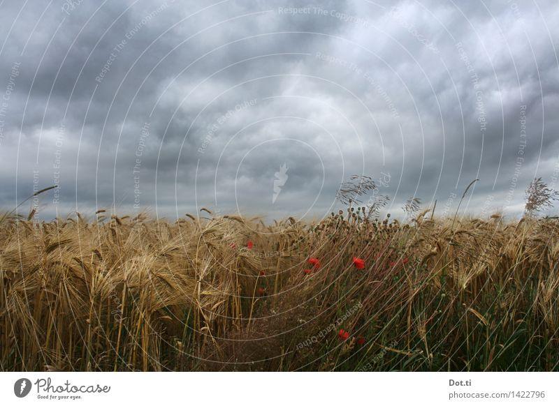 Gerste reif Natur Pflanze Wolken Gewitterwolken Sommer schlechtes Wetter Unwetter Wind Sturm Nutzpflanze Feld bedrohlich dunkel Landwirtschaft Mohn Aussaat