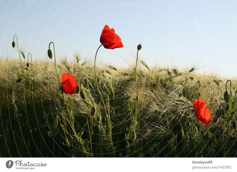 Mohn und mehr Klatschmohn Getreide Gerste rot Himmel Feld Ähren Blume Sommer