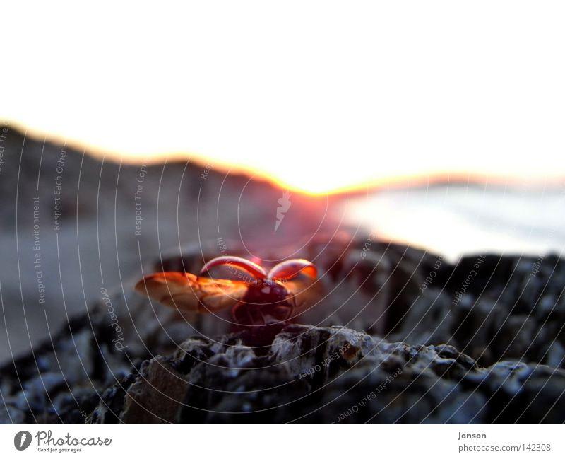 abflug Marienkäfer Abheben fliegen frei Freiheit Ferne Meer Käfer Ostsee Sonne Sonnenuntergang Stein Felsen Flucht Abend verloren Abschied Heimat Insekt Freude