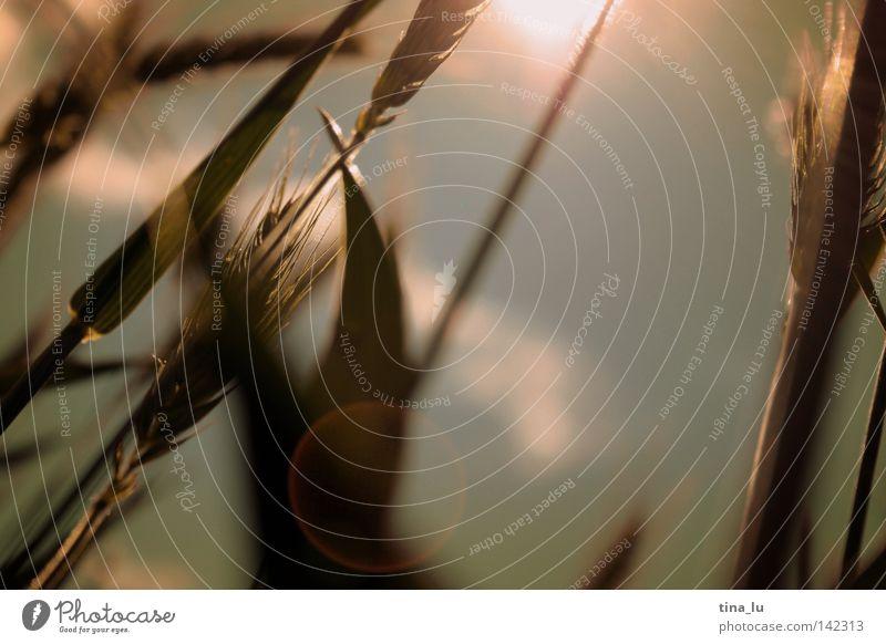 kornfeld I Getreide Ähren Kornfeld Gegenlicht Sonne Himmel Wolken Sommer Licht Physik Wärme Unschärfe Feld Reflexion & Spiegelung Froschperspektive Mitte