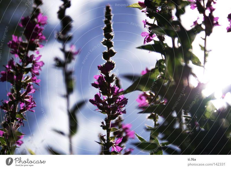 der Sonne entgegen Himmel Pflanze Sommer Blume Blüte violett