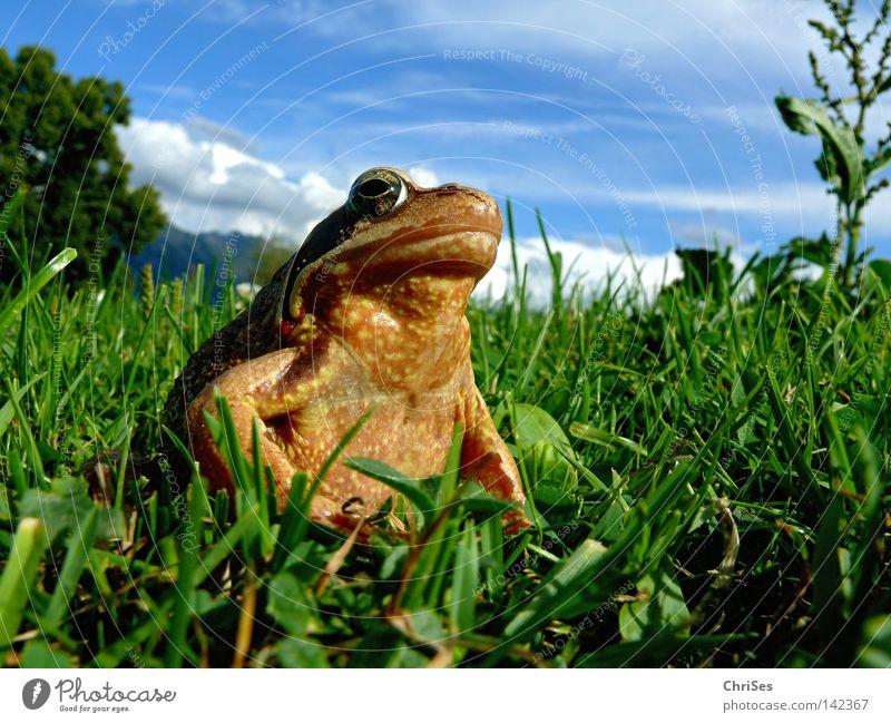 Grasfrosch : Der wahre König schaut ins Land Wasser Himmel grün blau Sommer Tier Wiese springen Gras Berge u. Gebirge braun Ei Insekt Alpen Frosch entdecken