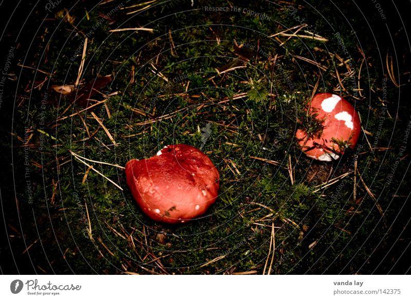 magere Ausbeute Pilz Waldboden Herbst Giftpflanze Wachstum Boden braun Blatt Moos Tannennadel 2 giftpilz bemoost Ernährung paarweise stehen